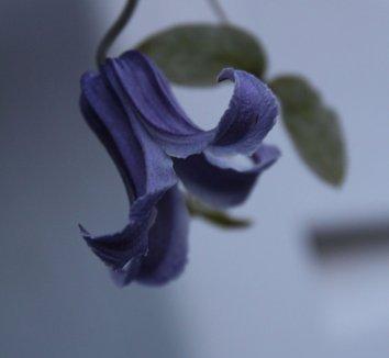Clematis integrifolia 'Rooguchi' 8 flower