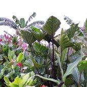 Colocasia 'Coffee Cups'