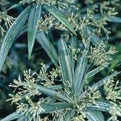 Cyperus albostriatus 'Variegatus'