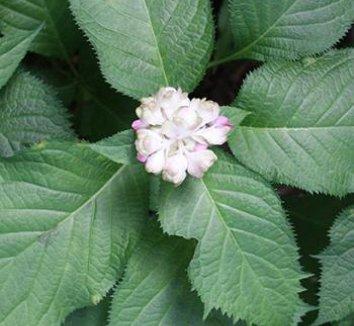 Deinanthe bifida 1 flower