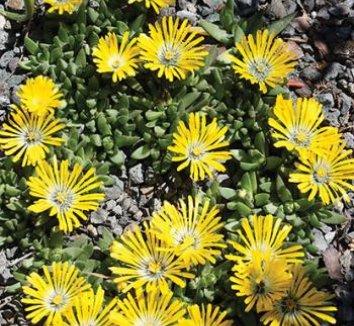 Delosperma basuticum 1 flower