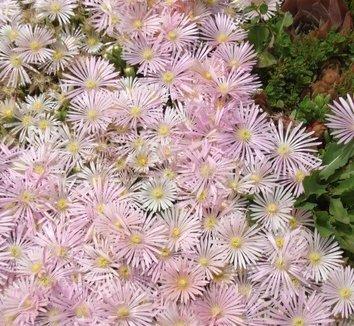 Delosperma 'Kelaidis' 4 flower