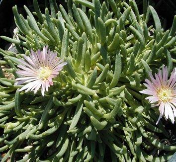 Delosperma 'Kelaidis' 8 flower