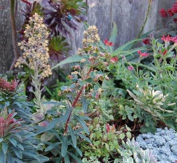 Euphorbia 'Tiny Tim' PP16930 13 landscape