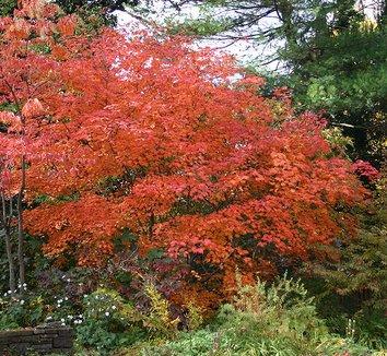 Acer japonicum 'Aconitifolium' 2 form