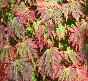Acer japonicum 'Aconitifolium' 5
