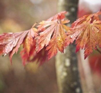 Acer japonicum 'Aconitifolium' 9