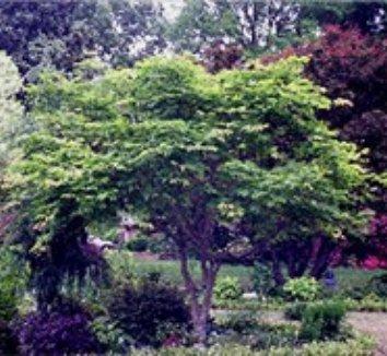 Acer japonicum 'Aconitifolium' 12 form