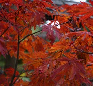 Acer japonicum 'Aconitifolium' 12