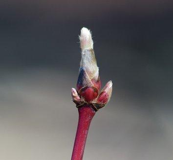 Acer japonicum 'Aconitifolium' 15