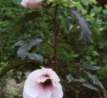 Hibiscus 'Kopper King' PP10793 6 flower