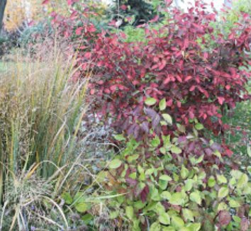 Amelanchier x grandiflora 'Autumn Brilliance' 2 landscape