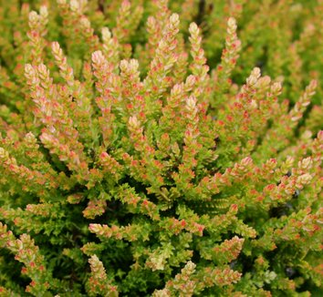 Calluna vulgaris 'Winter Chocolate' 1