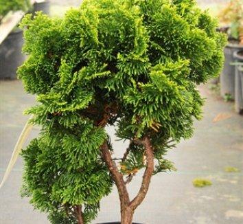 Chamaecyparis obtusa 'Nana' 15