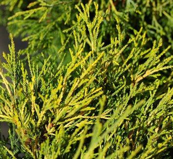 Chamaecyparis pisifera 'Sungold' 1