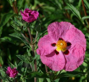 Cistus x purpureus 1 flower