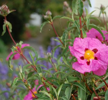 Cistus x purpureus 8 flower