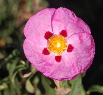 Cistus x purpureus 9 flower