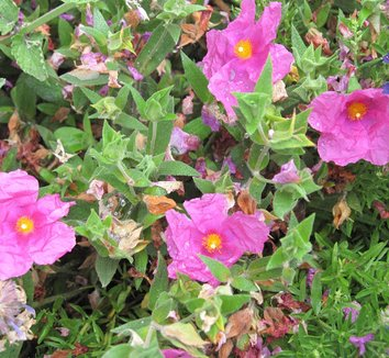 Cistus x purpureus 10 flower