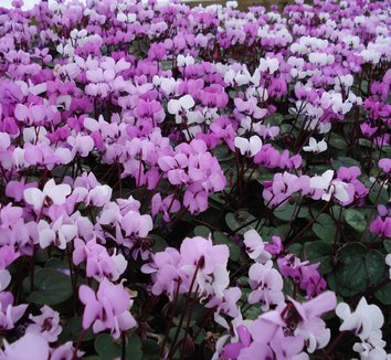 Cyclamen coum 13 flower, form