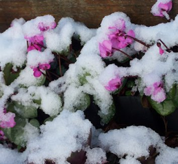 Cyclamen coum 14 flower