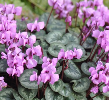 Cyclamen coum 15 flower