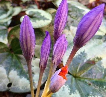 Cyclamen coum 16 flower