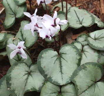 Cyclamen coum [silver leaf form] 10 flower