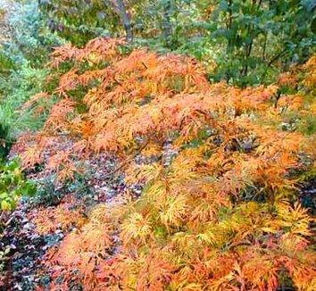 Acer japonicum 'Green Cascade' 1