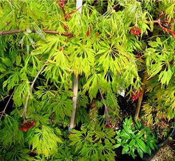 Acer japonicum 'Green Cascade' 10