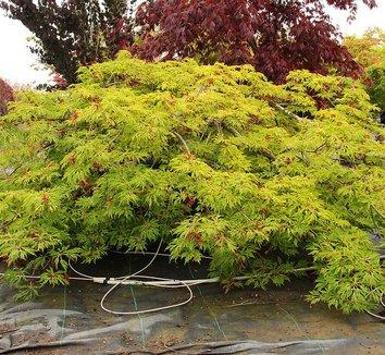Acer japonicum 'Green Cascade' 14 form