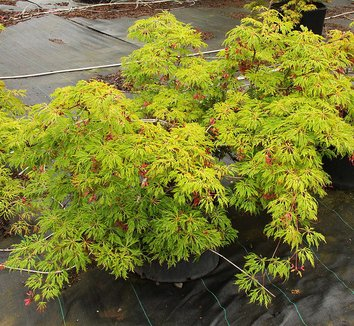 Acer japonicum 'Green Cascade' 12