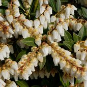 Pieris 'Snowdrift'