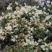 Pieris 'Spring Snow'
