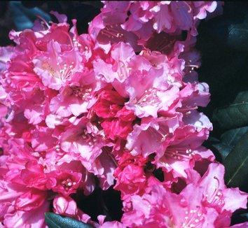 Rhododendron 'Kalinka' 1 flower