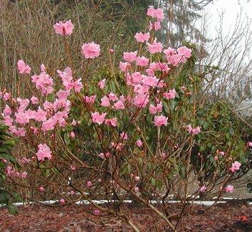 Rhododendron mucronulatum 'Cornell Pink' 1 flower, form