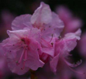 Rhododendron mucronulatum 'Cornell Pink' 5 flower