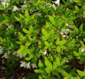 Rhododendron quinquefolium 20