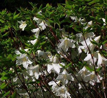 Rhododendron quinquefolium 21 flower