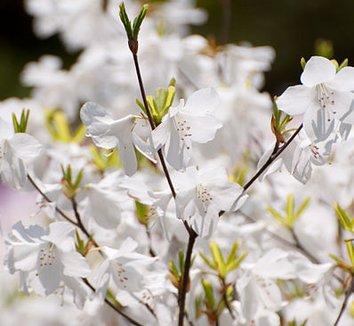 Rhododendron quinquefolium 1 flower
