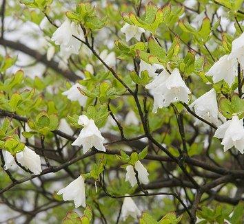 Rhododendron quinquefolium 22 flower