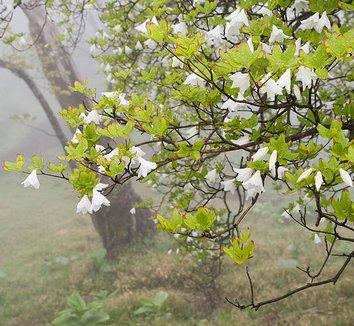 Rhododendron quinquefolium 18 flower