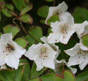 Rhododendron quinquefolium 4 flower