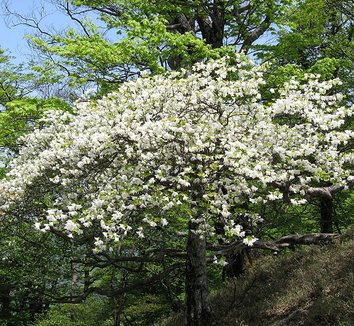 Rhododendron quinquefolium 6 flower