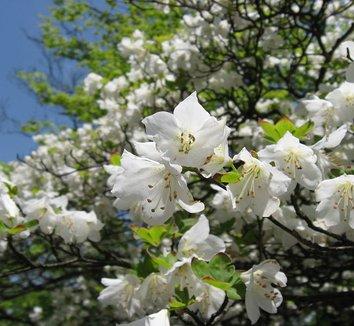 Rhododendron quinquefolium 8 flower
