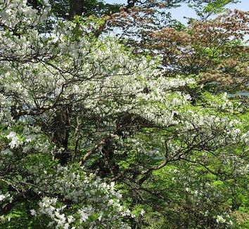 Rhododendron quinquefolium 9 flower