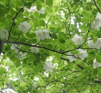 Rhododendron quinquefolium 12 flower