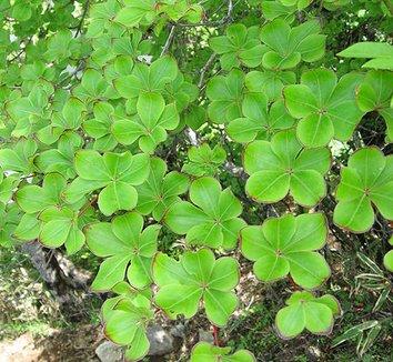 Rhododendron quinquefolium 14