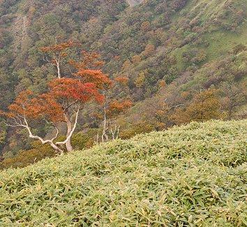Rhododendron quinquefolium 15 form
