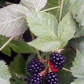 Rubus 'Black Satin'
